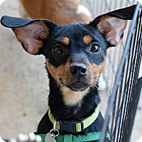 Adopt A Pet :: Mazy - Memphis, TN