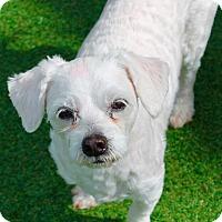 Adopt A Pet :: Popcorn - Memphis, TN