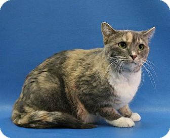 Domestic Shorthair Cat for adoption in Overland Park, Kansas - Maize Mae