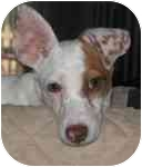 Rat Terrier Mix Puppy for adoption in Jacksonville, Florida - Dougal