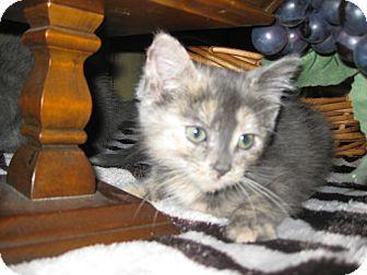 Domestic Shorthair Kitten for adoption in Clearfield, Utah - Taffy