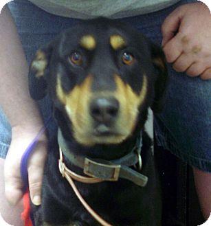 Doberman Pinscher/German Shepherd Dog Mix Dog for adoption in Greencastle, North Carolina - Rosco
