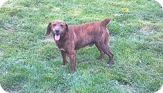 Mountain Cur Mix Dog for adoption in Hazard, Kentucky - Specks