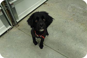 Cocker Spaniel/Lhasa Apso Mix Dog for adoption in Chewelah, Washington - Kody