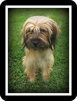 Border Terrier/Terrier (Unknown Type, Small) Mix Dog for adoption in Indian Trail, North Carolina - Cinnamon