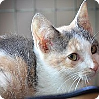 Adopt A Pet :: Patches - Xenia, OH