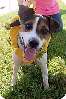 Jack Russell Terrier Mix Dog for adoption in Baton Rouge, Louisiana - Reba