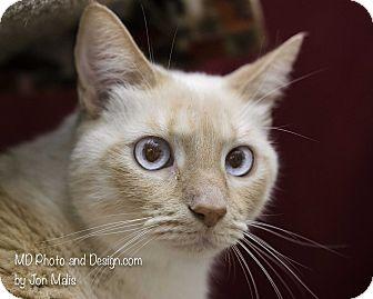 Siamese Cat for adoption in Fountain Hills, Arizona - Prince