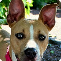 Adopt A Pet :: Cersei - Mount Juliet, TN