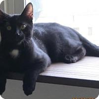 American Shorthair Cat for adoption in Burgaw, North Carolina - Kit