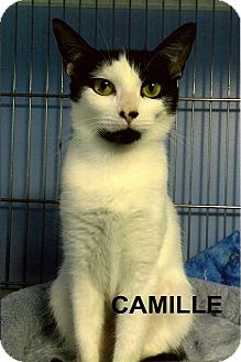 Domestic Shorthair Cat for adoption in Medway, Massachusetts - Camille