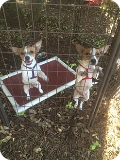 Toy Fox Terrier/Jack Russell Terrier Mix Puppy for adoption in Fair Oaks Ranch, Texas - Tango