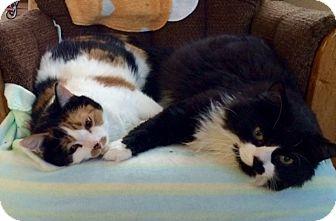 Domestic Longhair Cat for adoption in Sauk Rapids, Minnesota - Frodo