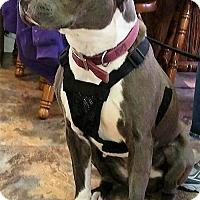 Adopt A Pet :: Gigi - St.Ann, MO