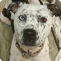 Adopt A Pet :: Frankie - Incline Village, NV