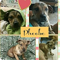 Adopt A Pet :: Pheobe - Des Moines, IA