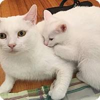 Domestic Shorthair Kitten for adoption in Marina del Rey, California - Snowflake