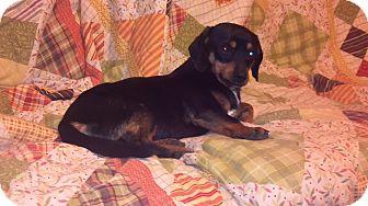 Dachshund/Chihuahua Mix Dog for adoption in Hazard, Kentucky - Freddie