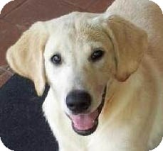 Labrador Retriever Puppy for adoption in New Canaan, Connecticut - Peggy
