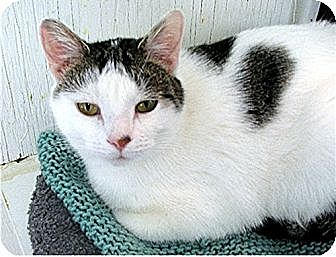 Domestic Mediumhair Cat for adoption in Huntington, New York - Diane