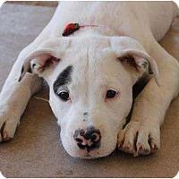 Adopt A Pet :: Sammy - Mesa, AZ