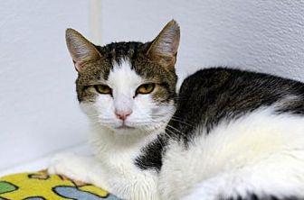 Domestic Shorthair Cat for adoption in Atlanta, Georgia - Athena150835
