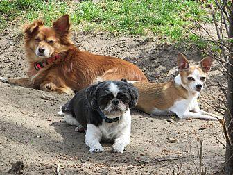 Chihuahua Mix Dog for adoption in Columbia Heights, Minnesota - Dj