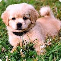 Adopt A Pet :: Lut - Pleasant Plain, OH