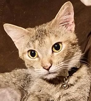 Domestic Shorthair Cat for adoption in Middleburg, Florida - ♥ Lysa ♥
