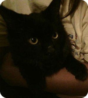 Siberian Cat for adoption in Corona, California - Valentine