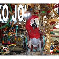 Adopt A Pet :: KO Jo The GW Macaw - Vancouver, WA