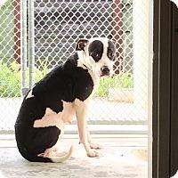 Adopt A Pet :: Amora - Humble, TX