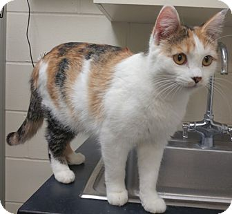 Domestic Shorthair Cat for adoption in Willmar, Minnesota - Adele