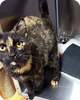 Domestic Shorthair Cat for adoption in Las Vegas, Nevada - Juniper