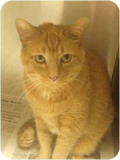 Domestic Shorthair Cat for adoption in Greenville, South Carolina - Oliver