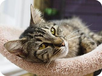 Domestic Shorthair Cat for adoption in Ocean City, New Jersey - Willow