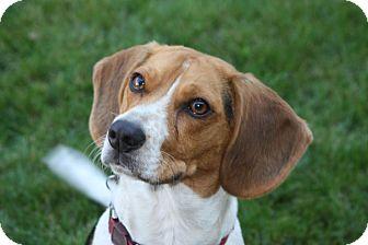Beagle Dog for adoption in Portland, Oregon - Beegley