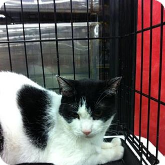 Domestic Shorthair Cat for adoption in Pittstown, New Jersey - Sly