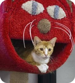 Domestic Shorthair Cat for adoption in Gainesville, Florida - Mango