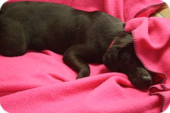 Labrador Retriever Mix Dog for adoption in Marietta, Georgia - Raven