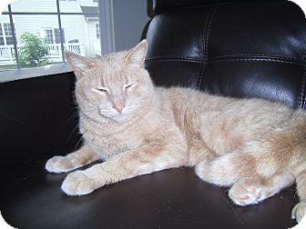 Domestic Shorthair Cat for adoption in Reston, Virginia - Buddy
