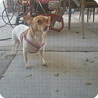 Adopt A Pet :: Little Roxy - Rancho Cordova, CA