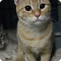 Domestic Shorthair Cat for adoption in Yukon, Oklahoma - Sun Dance