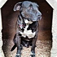 Labrador Retriever Mix Dog for adoption in Norristown, Pennsylvania - Bradley