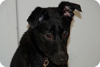 Collie/Retriever (Unknown Type) Mix Puppy for adoption in Salem, West Virginia - Gypsy