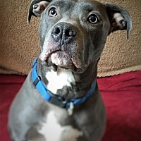 Pit Bull Terrier Mix Dog for adoption in Centerburg, Ohio - Clark