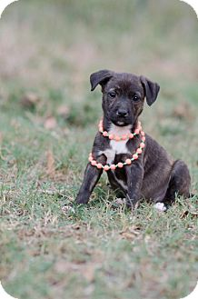 American Staffordshire Terrier/Terrier (Unknown Type, Medium) Mix Puppy for adoption in Seneca, South Carolina - Xena $250