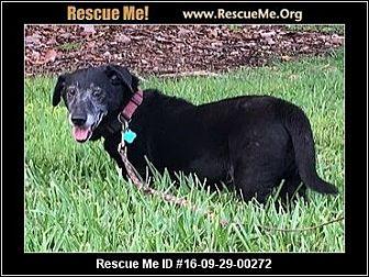 Dachshund Mix Dog for adoption in hollywood, Florida - suni Lou