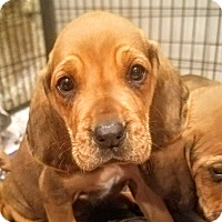 Adopt A Pet :: Bloodhound pups! *ADOPTED!* - Chicago, IL