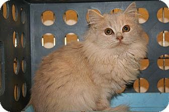 American Shorthair Kitten for adoption in Foster, Rhode Island - Princess Camomille